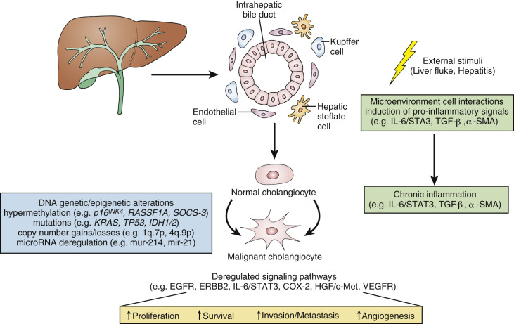 Bile Canaliculus - an overview   ScienceDirect Topics