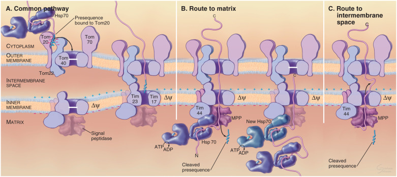 Outer Mitochondrial Membrane An Overview Sciencedirect