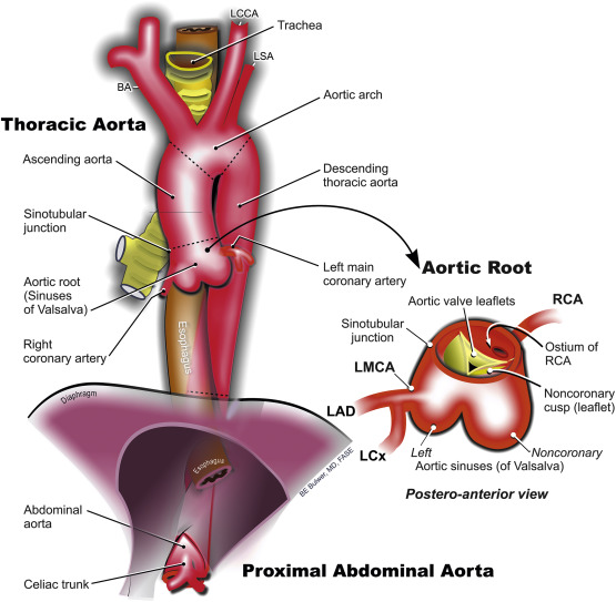 unpaired branches of the abdominal aorta