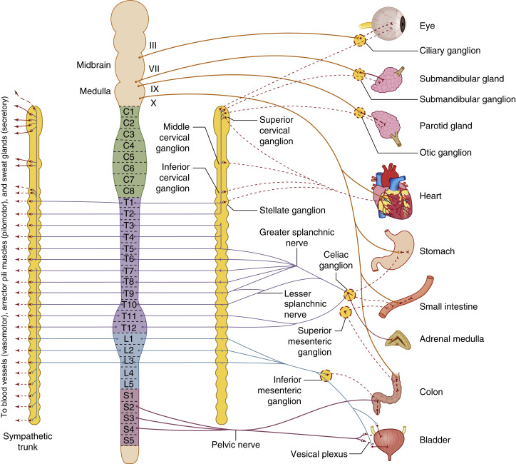 difference between somatic and autonomic nervous system table