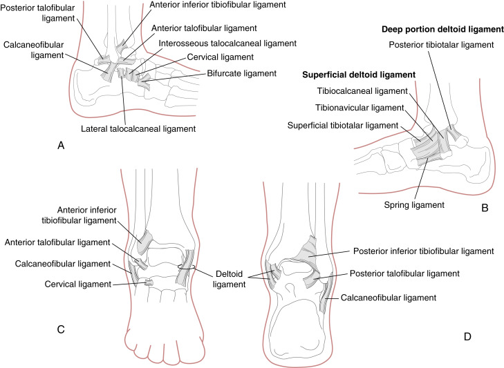 Ankle Joint An Overview Sciencedirect Topics