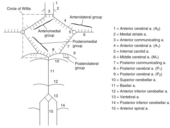 Circle of Willis - an overview | ScienceDirect Topics