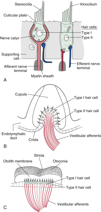 Sensory Receptor Cell An Overview Sciencedirect Topics