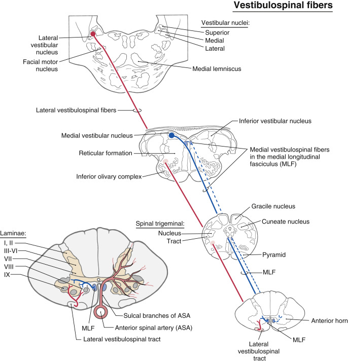 Medial Vestibular Nucleus - an overview | ScienceDirect Topics