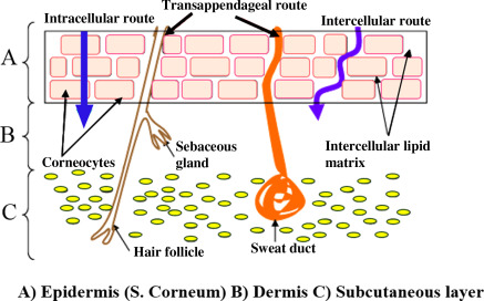 Skin penetration of nanoparticles - ScienceDirect