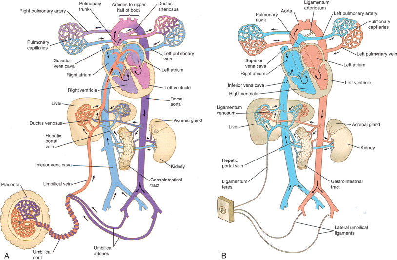 Fetal Heart - an overview | ScienceDirect Topics