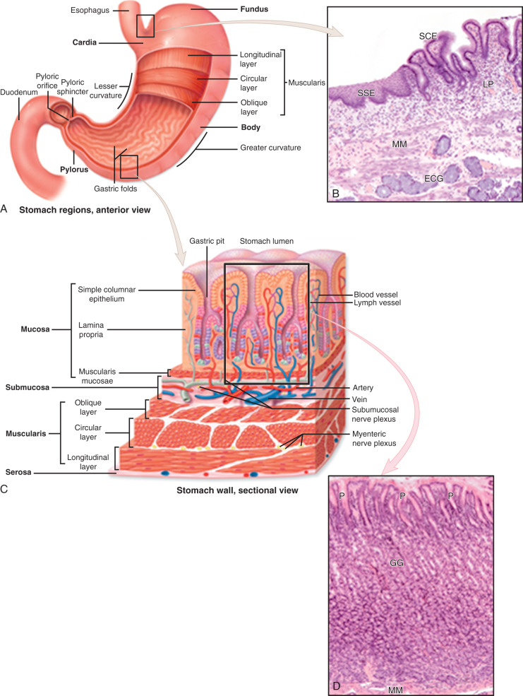 Anatomy And Physiology Of The Stomach Sciencedirect
