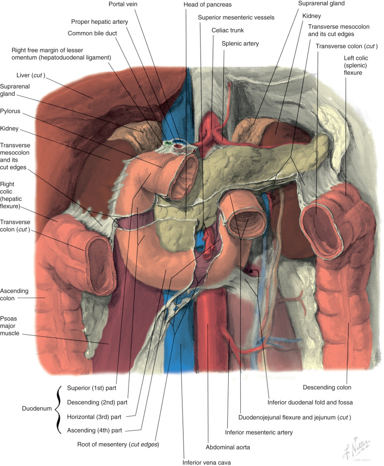 Anatomy and Physiology of the Duodenum - ScienceDirect