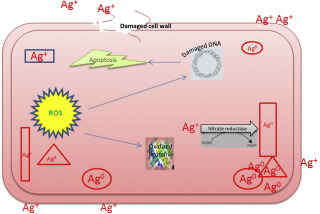 Differential biological activities of silver nanoparticles