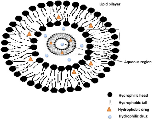 Role of liposomal drug-delivery system in cosmetics - ScienceDirect