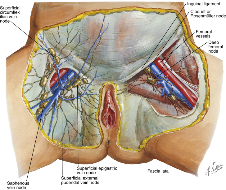 Female Groin Lymph Node Diagram | Wiring Diagram