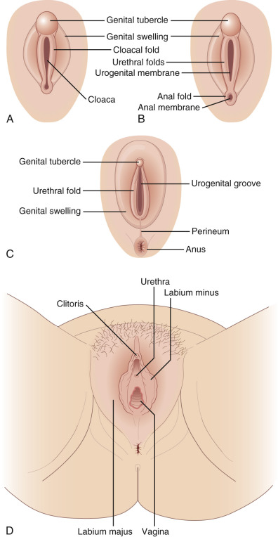 Urogenital Sinus - an overview | ScienceDirect Topics