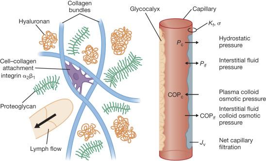 Pathophysiology of Burn Shock and Burn Edema - ScienceDirect