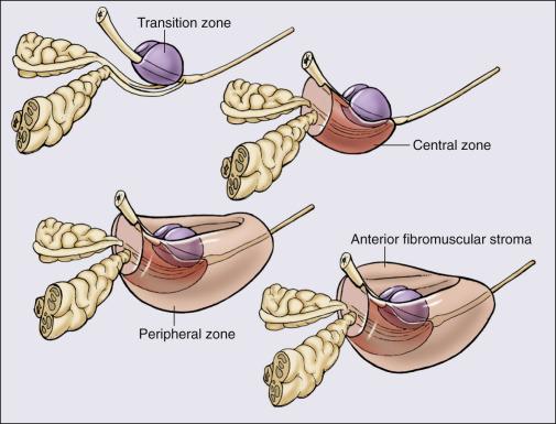 prostata normale größe cm Gyertyák az aloe- val a prosztatitisből