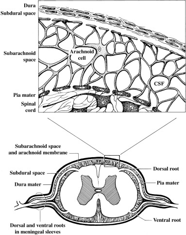 arachnoid trabeculae an overview sciencedirect topics Spine Skeletal System sign in to download full size image