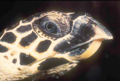 Cheloniidae - an overview   ScienceDirect Topics