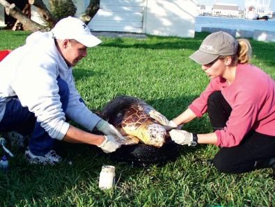 Sea Turtle - an overview   ScienceDirect Topics