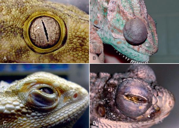 Lizards - an overview | ScienceDirect Topics