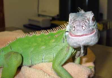 Uromastyx - an overview | ScienceDirect Topics