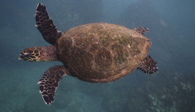 Olive Ridley Sea Turtle - an overview | ScienceDirect Topics
