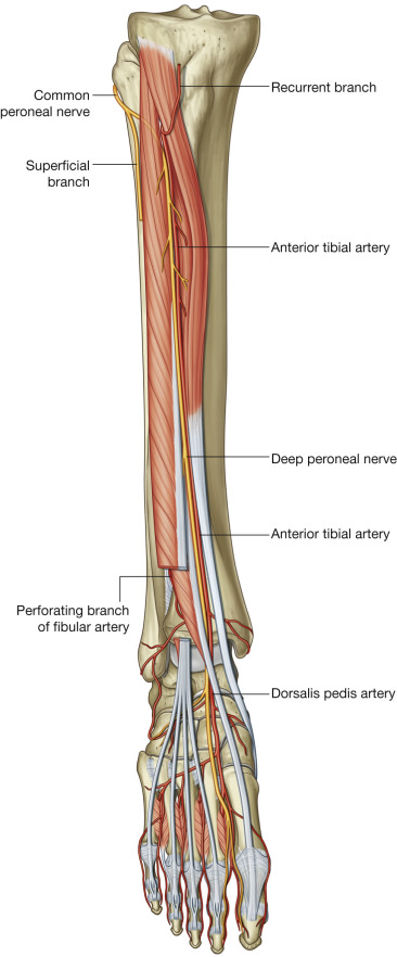 Deep Peroneal Nerve Block Sciencedirect
