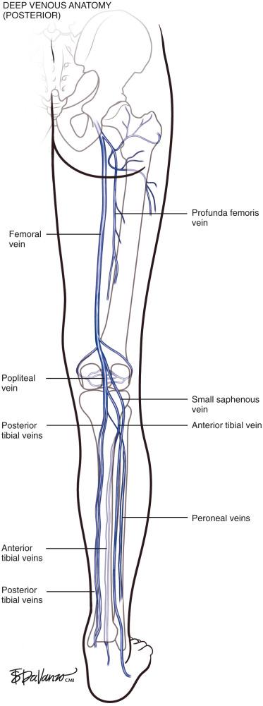 Venous Anatomy Sciencedirect