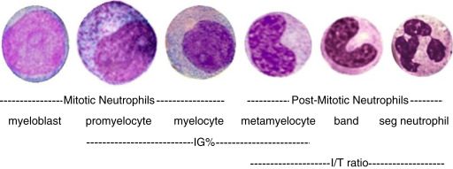Myelocyte - an overview | ScienceDirect Topics