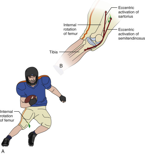 Hamstring Muscle An Overview ScienceDirect Topics
