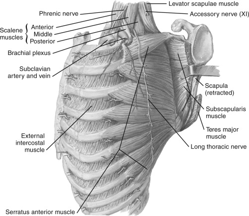 Long Thoracic Nerve - an overview | ScienceDirect Topics