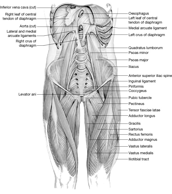 Psoas Minor Muscle An Overview Sciencedirect Topics