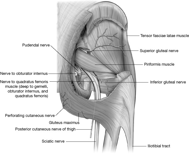 Gluteal Tuberosity An Overview Sciencedirect Topics