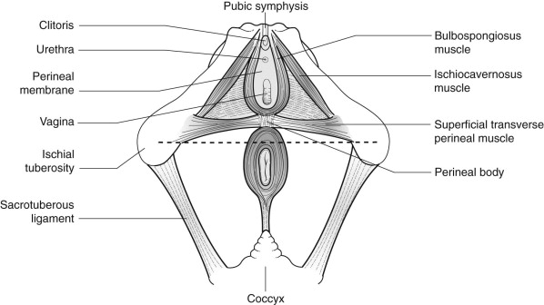 Perineum - an overview | ScienceDirect Topics