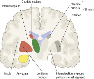 lentiform nucleus an overview sciencedirect topics