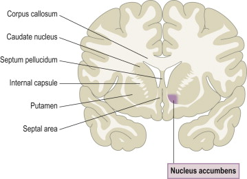 caudate nucleus an overview sciencedirect topics
