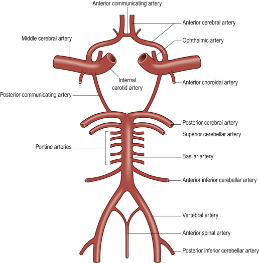 Circle Of Willis An Overview Sciencedirect Topics