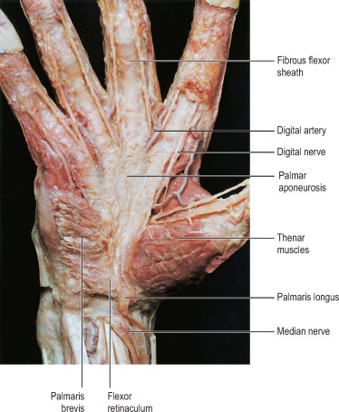 Palmaris Brevis Muscle - an overview | ScienceDirect Topics