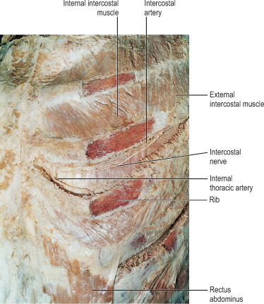 External Intercostal Muscles An Overview Sciencedirect Topics