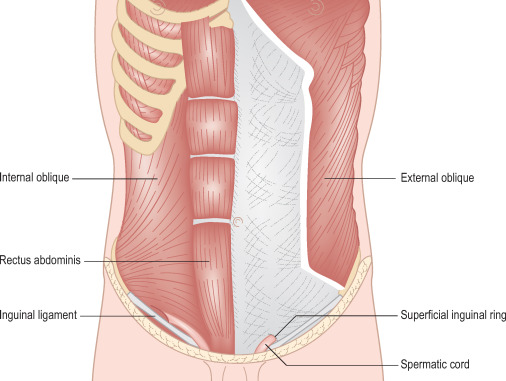 Abdominal Wall An Overview Sciencedirect Topics