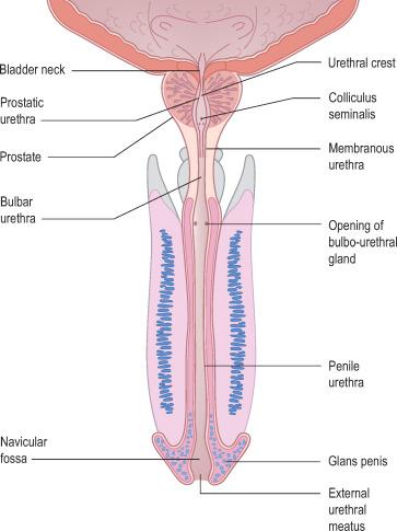 external prostate location