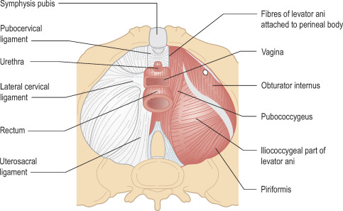Obturator Internus Muscle - an overview | ScienceDirect Topics