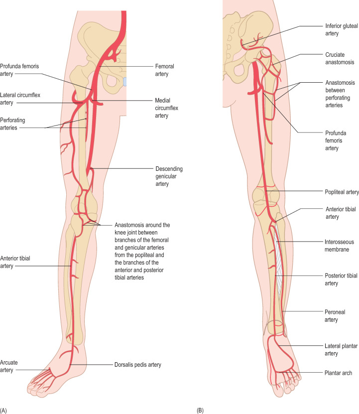 External Iliac Artery An Overview Sciencedirect Topics