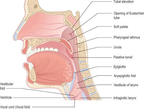 Nasopharynx An Overview Sciencedirect Topics