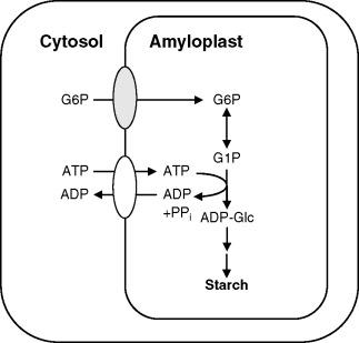 3 s2.0 B9780444510181500555 f13 05 9780444510181 amyloplast an overview sciencedirect topics