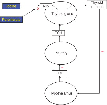 Thyroxine An Overview Sciencedirect Topics