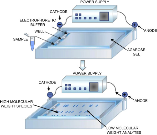 Basic principles of gel electrophoresis to separate nucleic acids