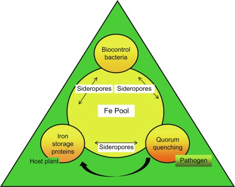 Pseudomonas fluorescens: A Plant-Growth-Promoting