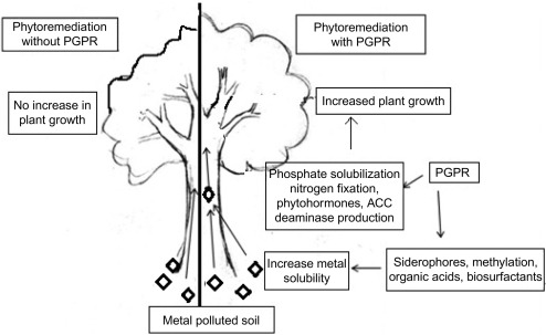 The Role of Plant-Associated Bacteria in Phytoremediation of