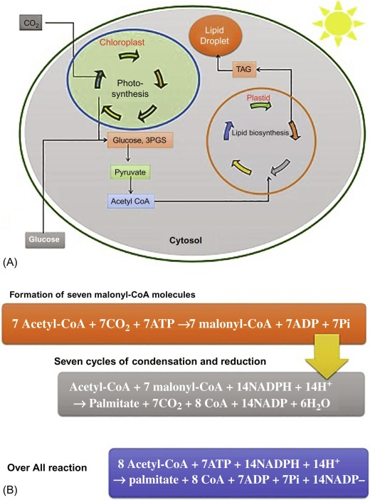 Algal oils as biodiesel - ScienceDirect
