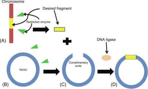 Genetic Engineering - an overview | ScienceDirect TopicsScienceDirect.com