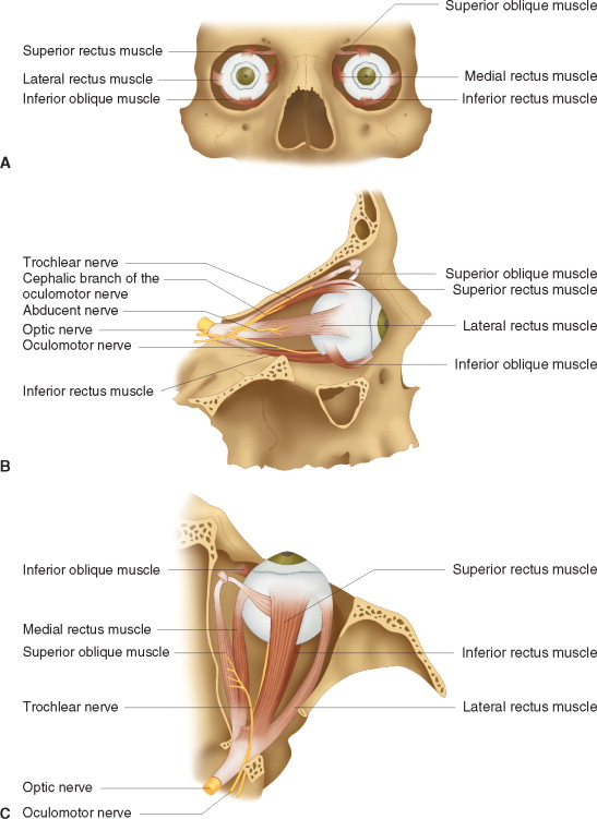 Superior Rectus Muscle An Overview Sciencedirect Topics